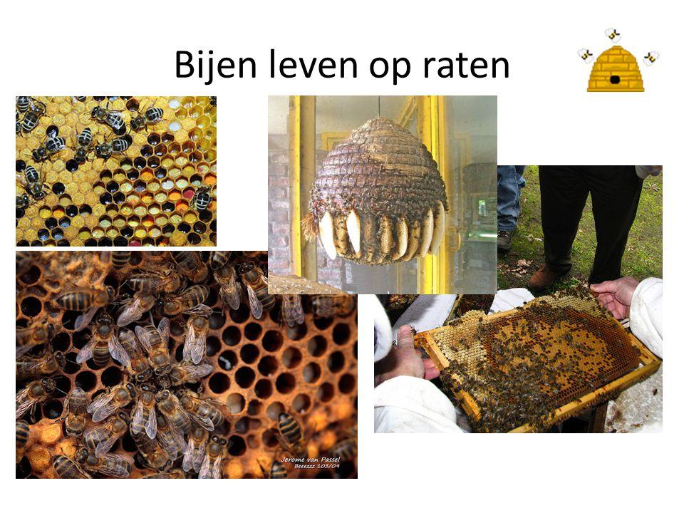 Bijen leven op raten