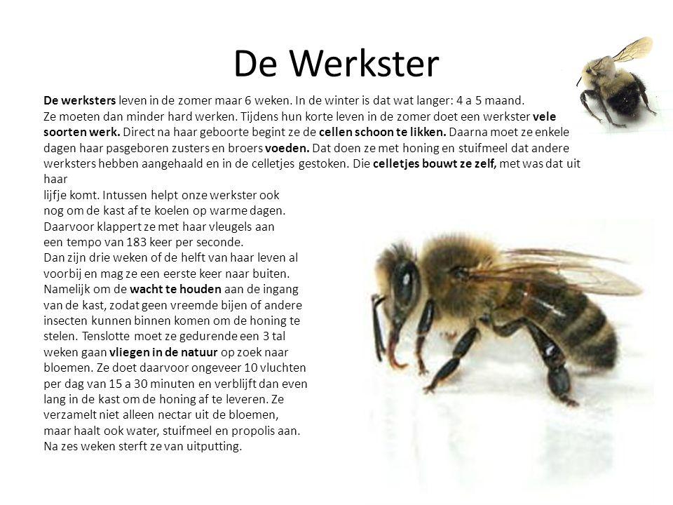 De Werkster De werksters leven in de zomer maar 6 weken. In de winter is dat wat langer: 4 a 5 maand.