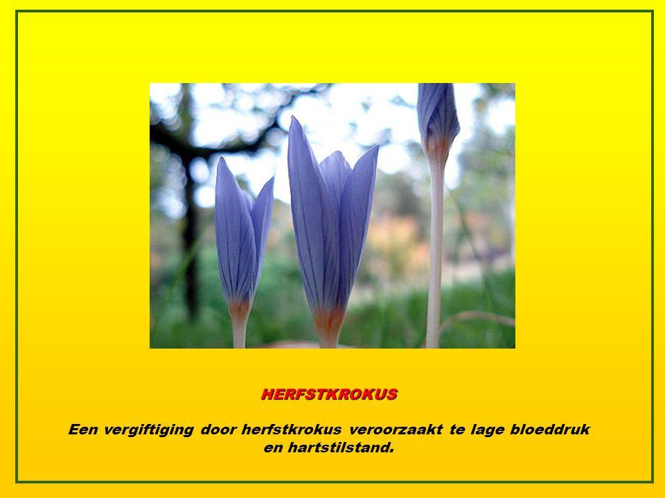 HERFSTKROKUS Een vergiftiging door herfstkrokus veroorzaakt te lage bloeddruk en hartstilstand.