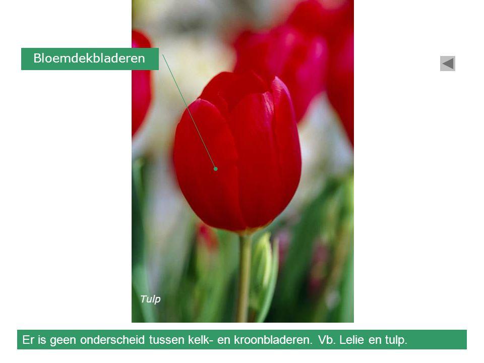 Bloemdekbladeren Tulp Er is geen onderscheid tussen kelk- en kroonbladeren. Vb. Lelie en tulp.