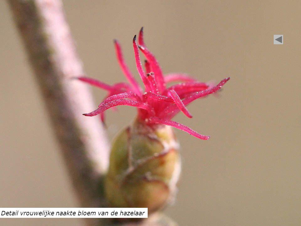 Detail vrouwelijke naakte bloem van de hazelaar