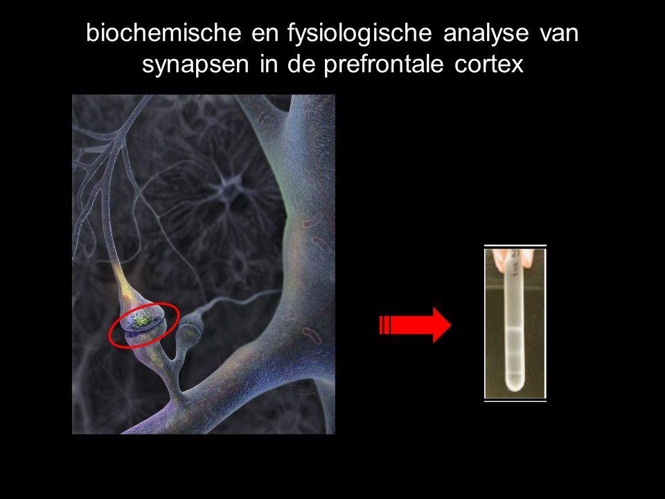 biochemische en fysiologische analyse van synapsen in de prefrontale cortex