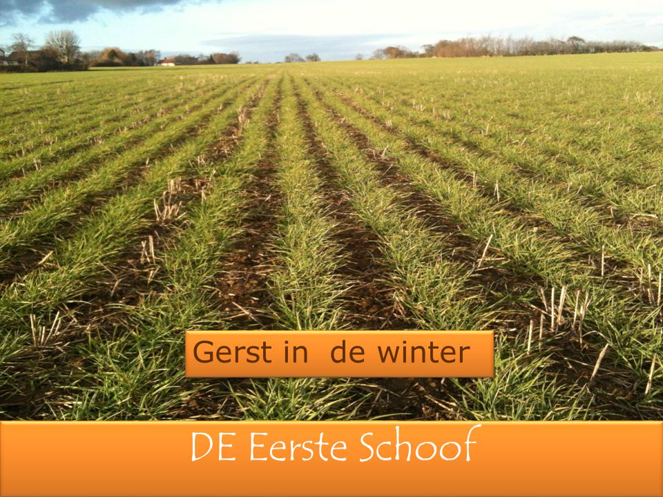 Gerst in de winter