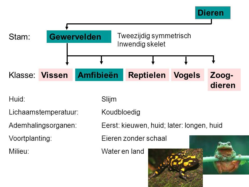Dieren Stam: Gewervelden Klasse: Vissen Amfibieën Reptielen Vogels