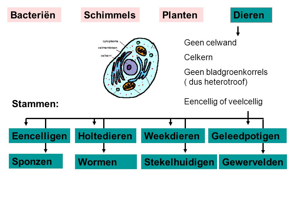 Bacteriën Schimmels Planten Dieren Stammen: Eencelligen Holtedieren