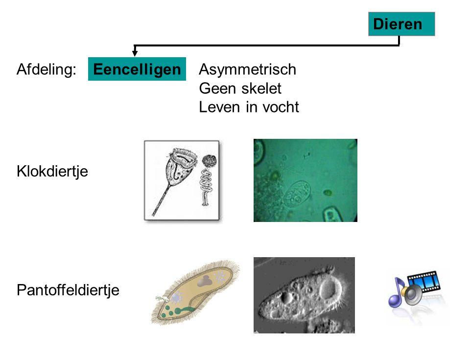 Dieren Afdeling: Eencelligen. Asymmetrisch Geen skelet Leven in vocht. Klokdiertje.