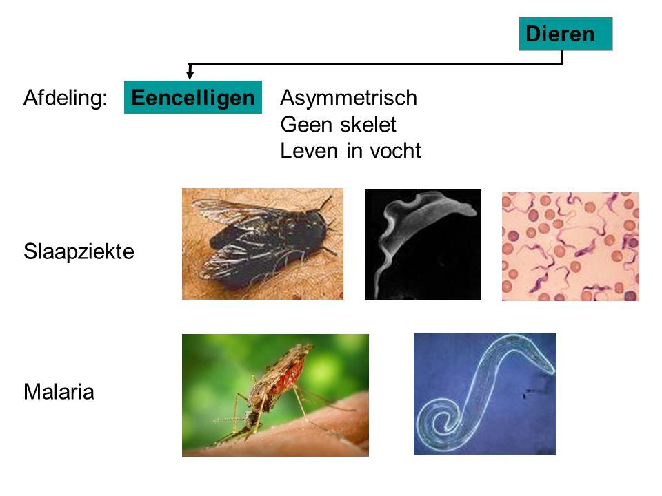 Dieren Afdeling: Eencelligen. Asymmetrisch Geen skelet Leven in vocht. Slaapziekte.
