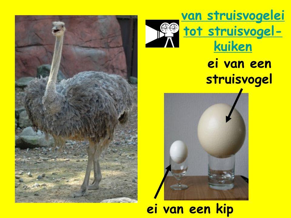 van struisvogelei tot struisvogel-kuiken
