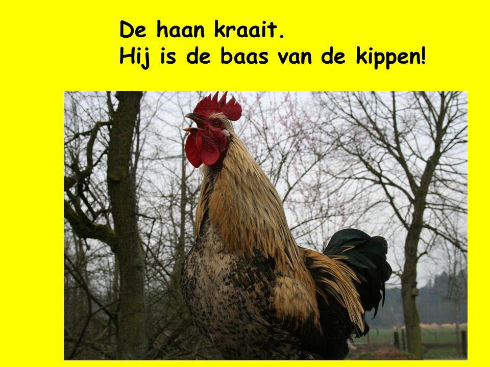 De haan kraait. Hij is de baas van de kippen!