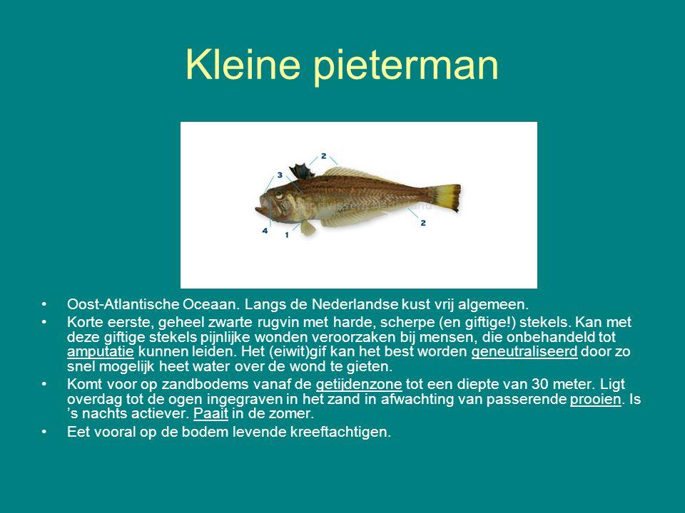 Kleine pieterman Oost-Atlantische Oceaan. Langs de Nederlandse kust vrij algemeen.