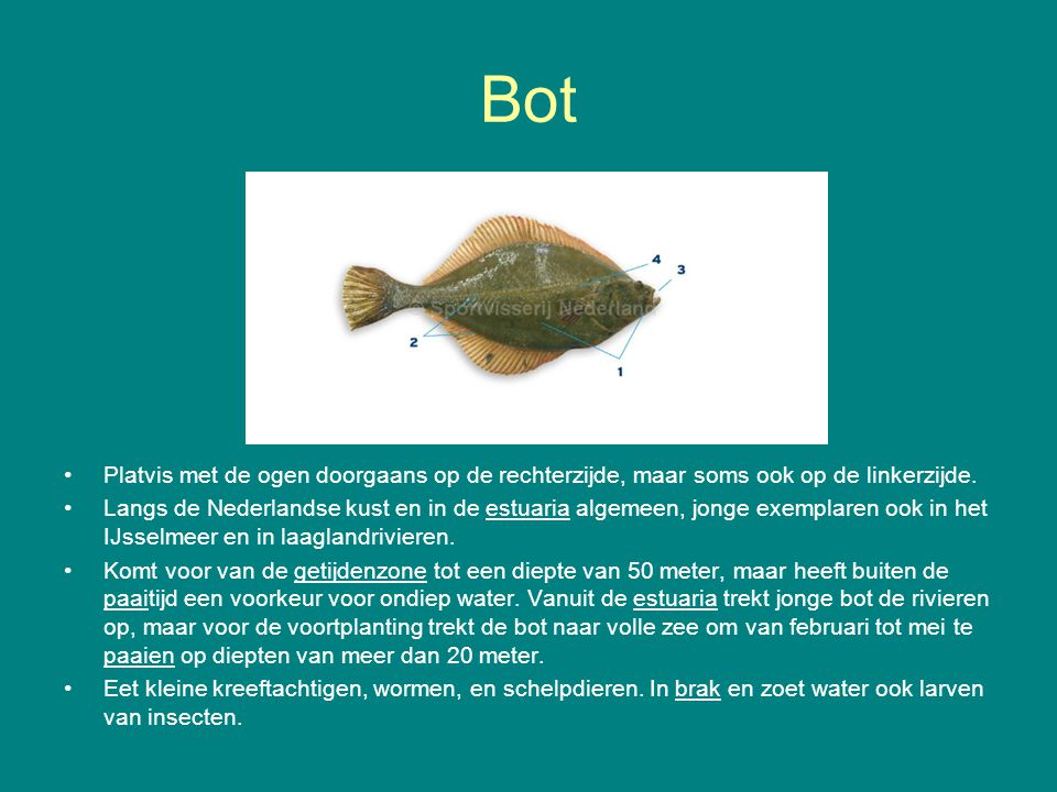 Bot Platvis met de ogen doorgaans op de rechterzijde, maar soms ook op de linkerzijde.