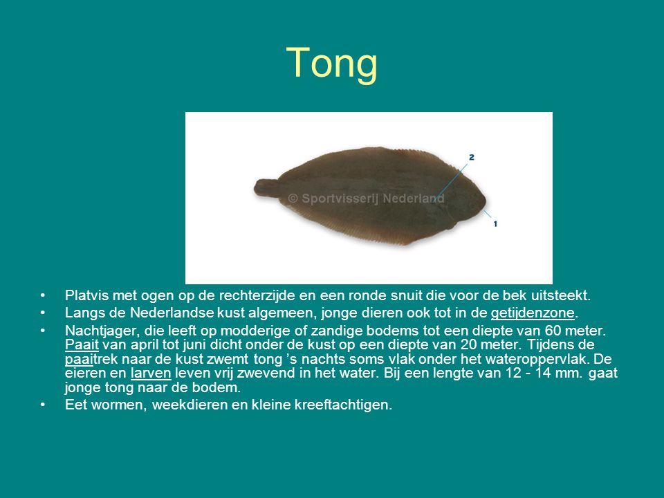 Tong Platvis met ogen op de rechterzijde en een ronde snuit die voor de bek uitsteekt.