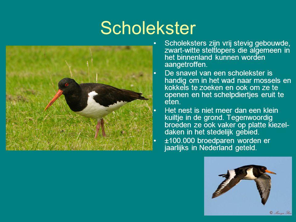 Scholekster Scholeksters zijn vrij stevig gebouwde, zwart-witte steltlopers die algemeen in het binnenland kunnen worden aangetroffen.
