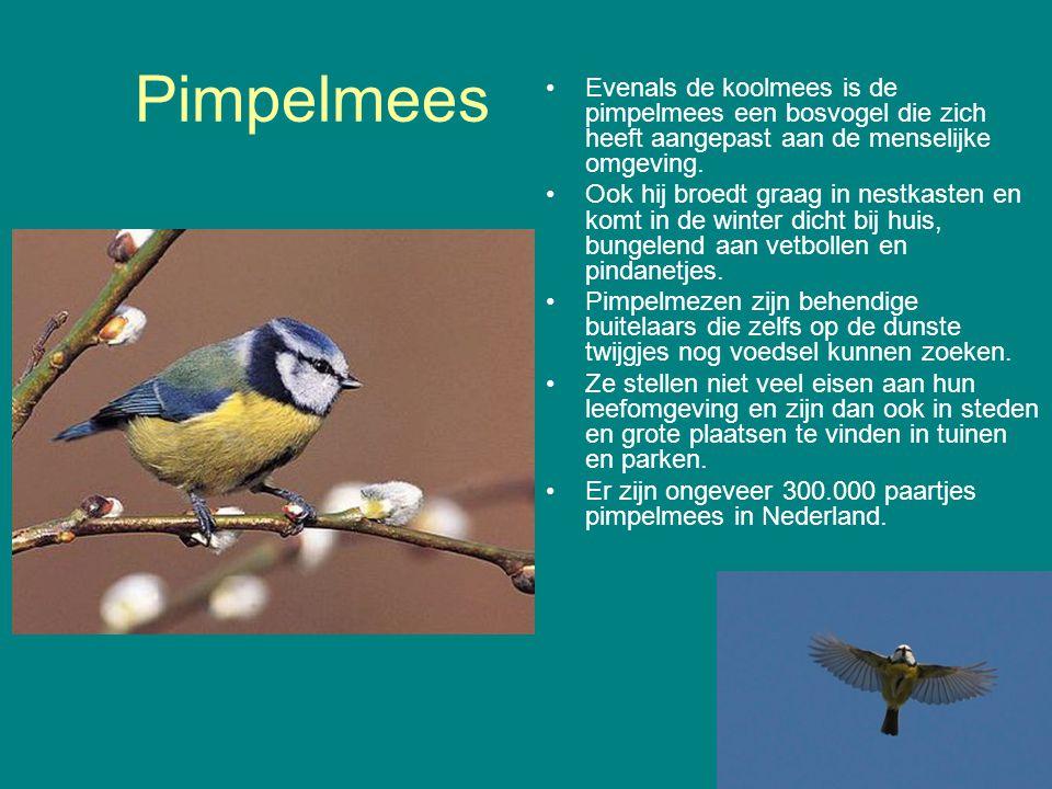 Pimpelmees Evenals de koolmees is de pimpelmees een bosvogel die zich heeft aangepast aan de menselijke omgeving.