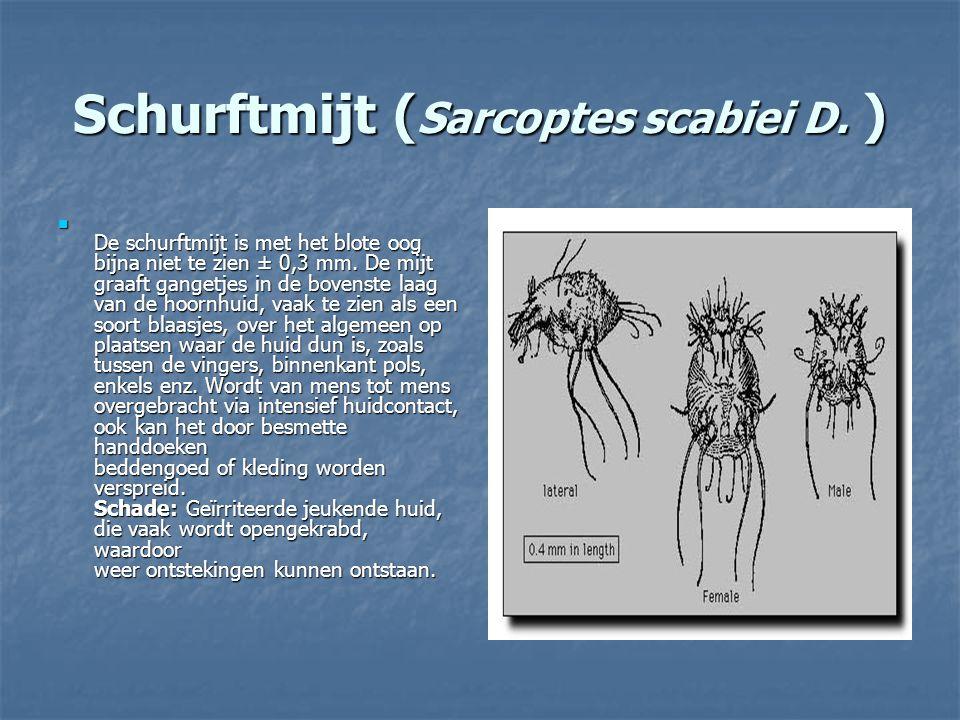 Schurftmijt (Sarcoptes scabiei D. )