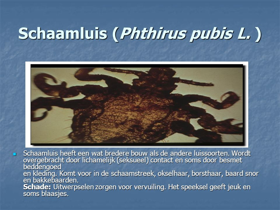 Schaamluis (Phthirus pubis L. )