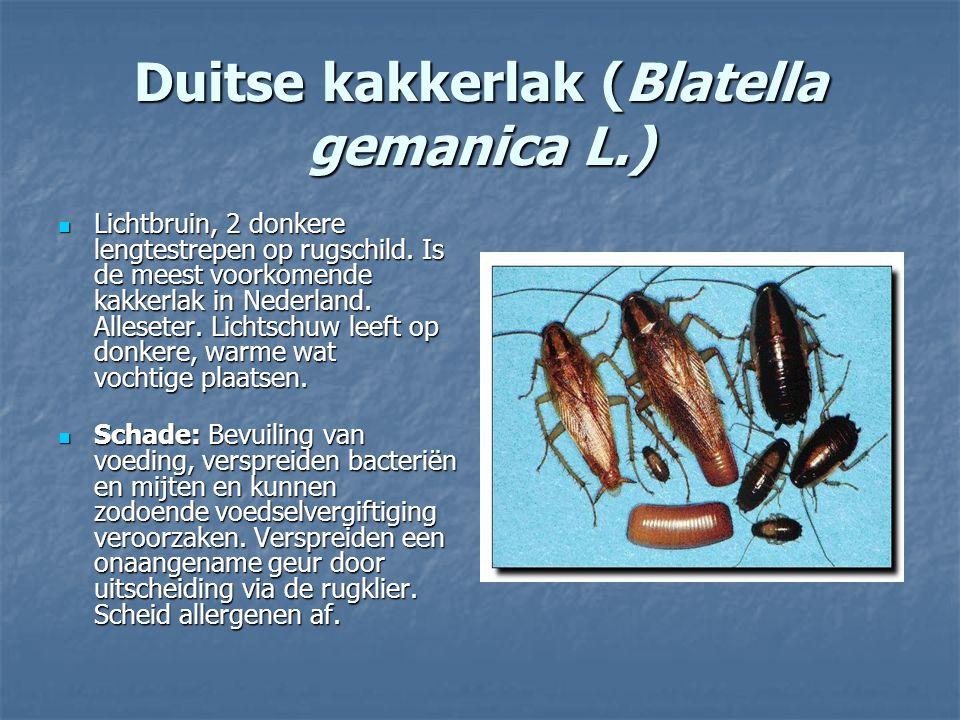 Duitse kakkerlak (Blatella gemanica L.)