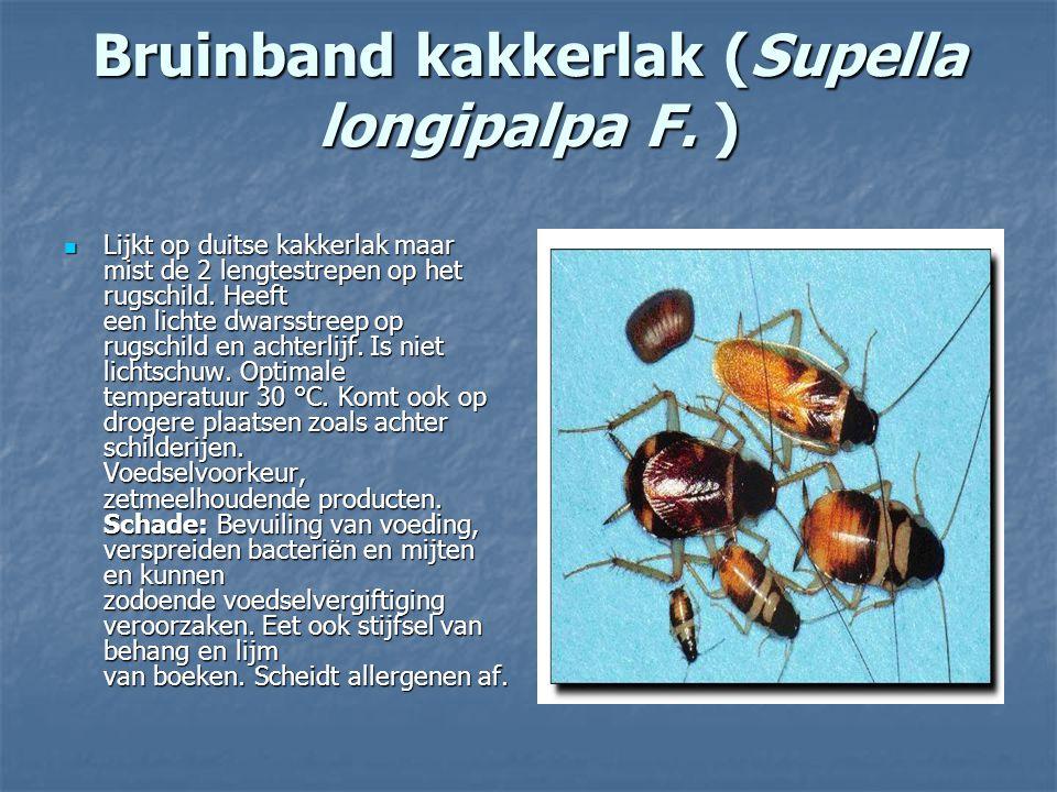 Bruinband kakkerlak (Supella longipalpa F. )