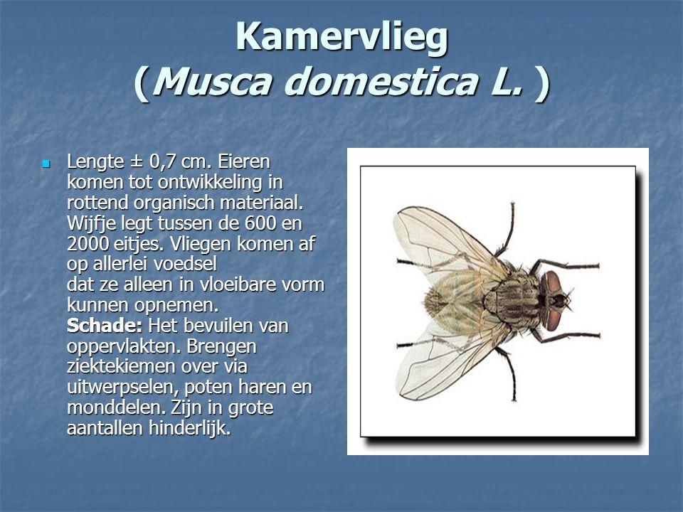 Kamervlieg (Musca domestica L. )
