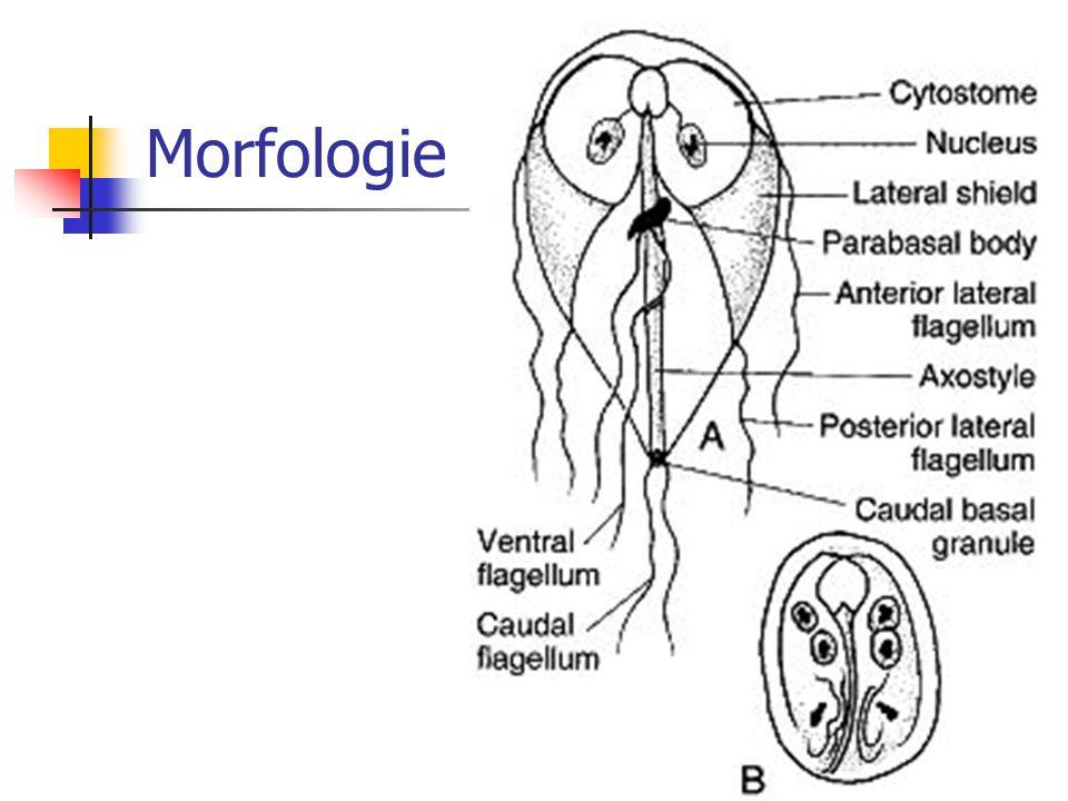 Morfologie Cysten: ovaal, duidelijke wand en 2 tot 4 polair gerangschikte kernen.