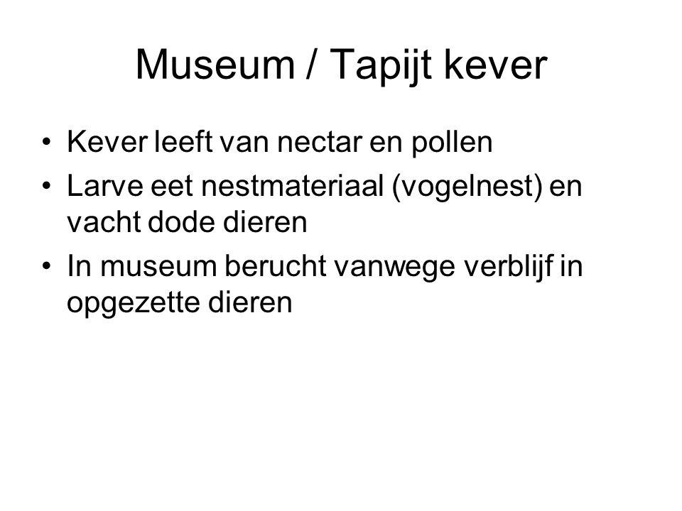 Museum / Tapijt kever Kever leeft van nectar en pollen