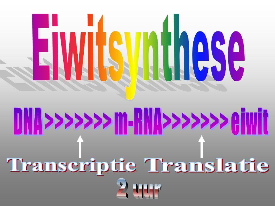 Eiwitsynthese DNA >>>>>>> m-RNA>>>>>>> eiwit Transcriptie Translatie 2 uur