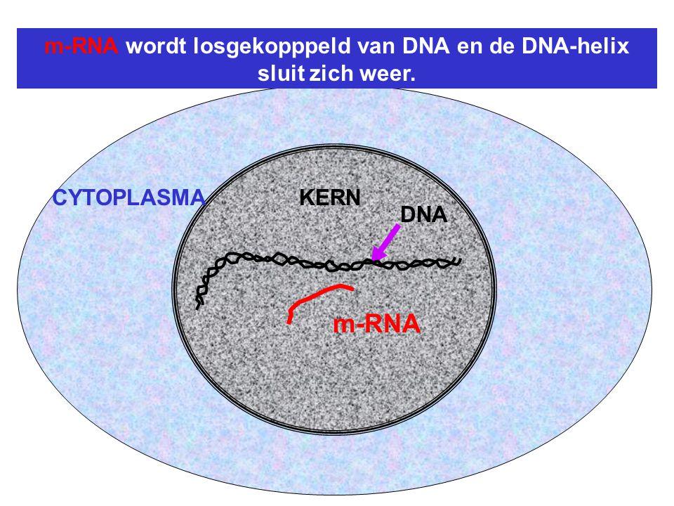 m-RNA wordt losgekopppeld van DNA en de DNA-helix sluit zich weer.