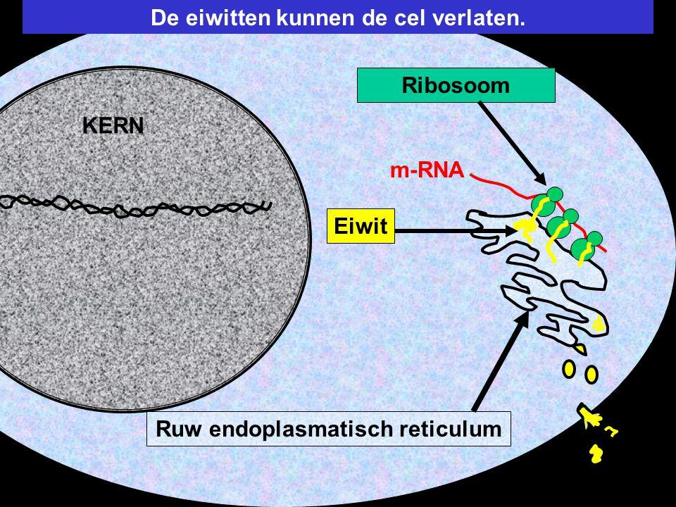 De eiwitten kunnen de cel verlaten. Ruw endoplasmatisch reticulum