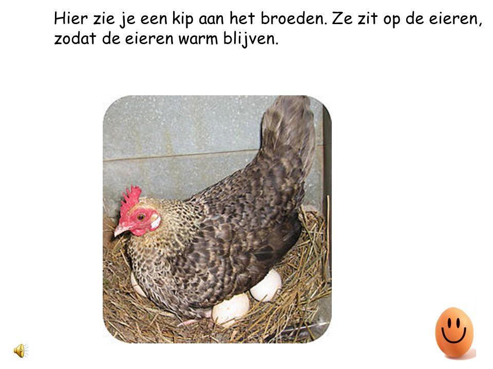 Hier zie je een kip aan het broeden. Ze zit op de eieren,