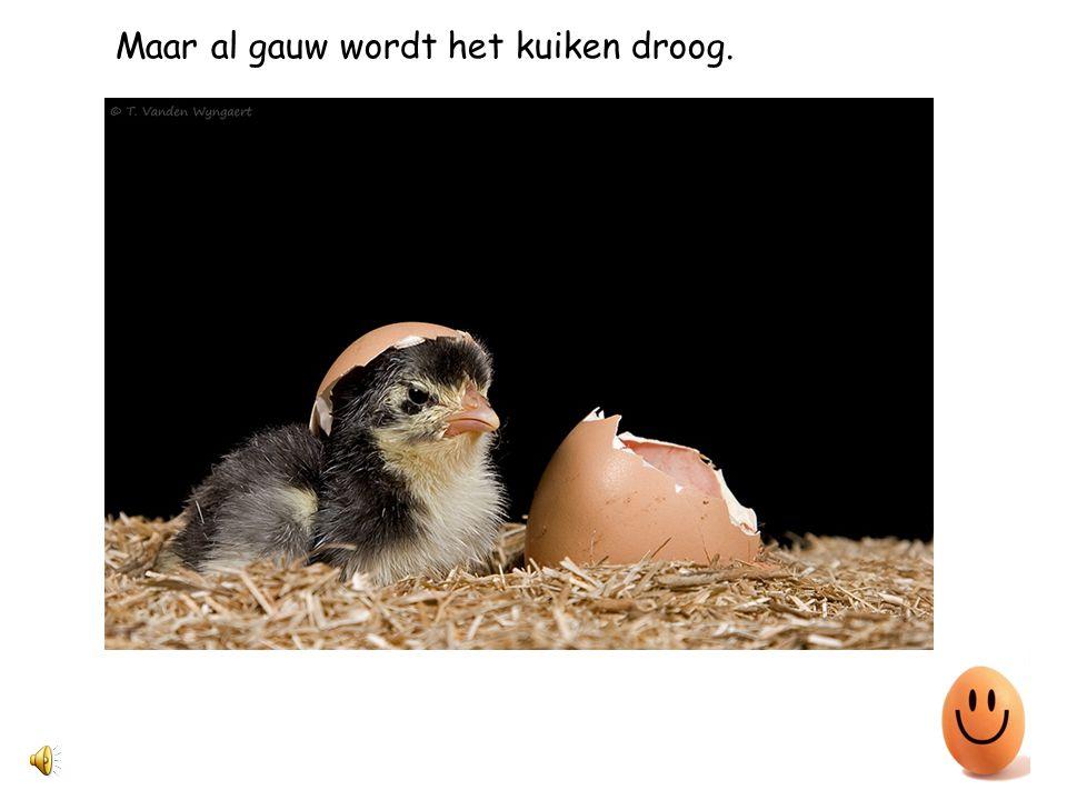 Maar al gauw wordt het kuiken droog.