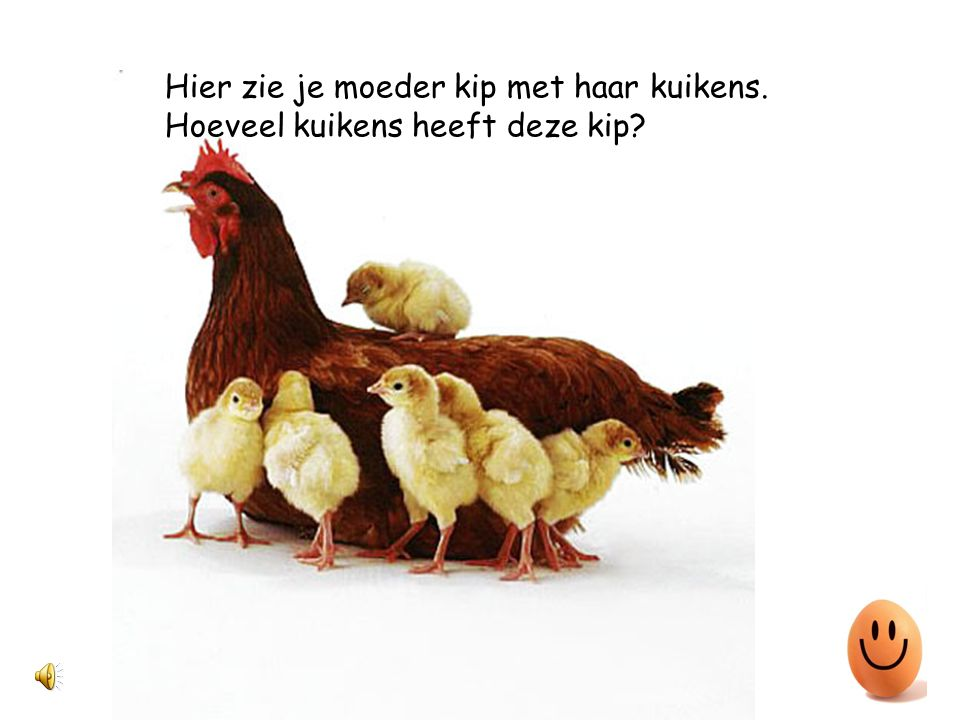 Hier zie je moeder kip met haar kuikens.