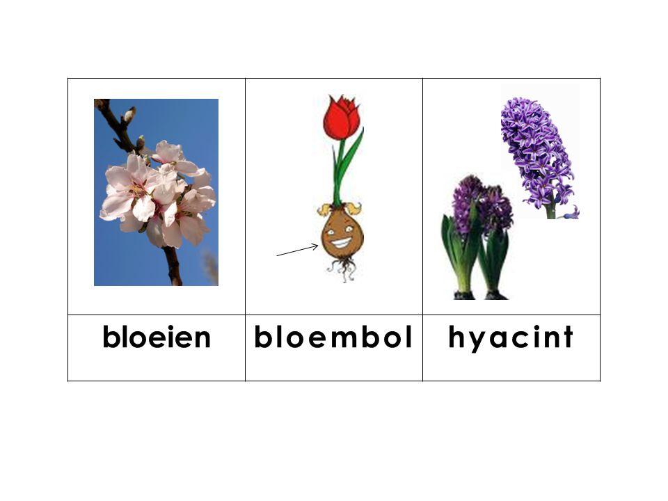 bloeien bloembol hyacint