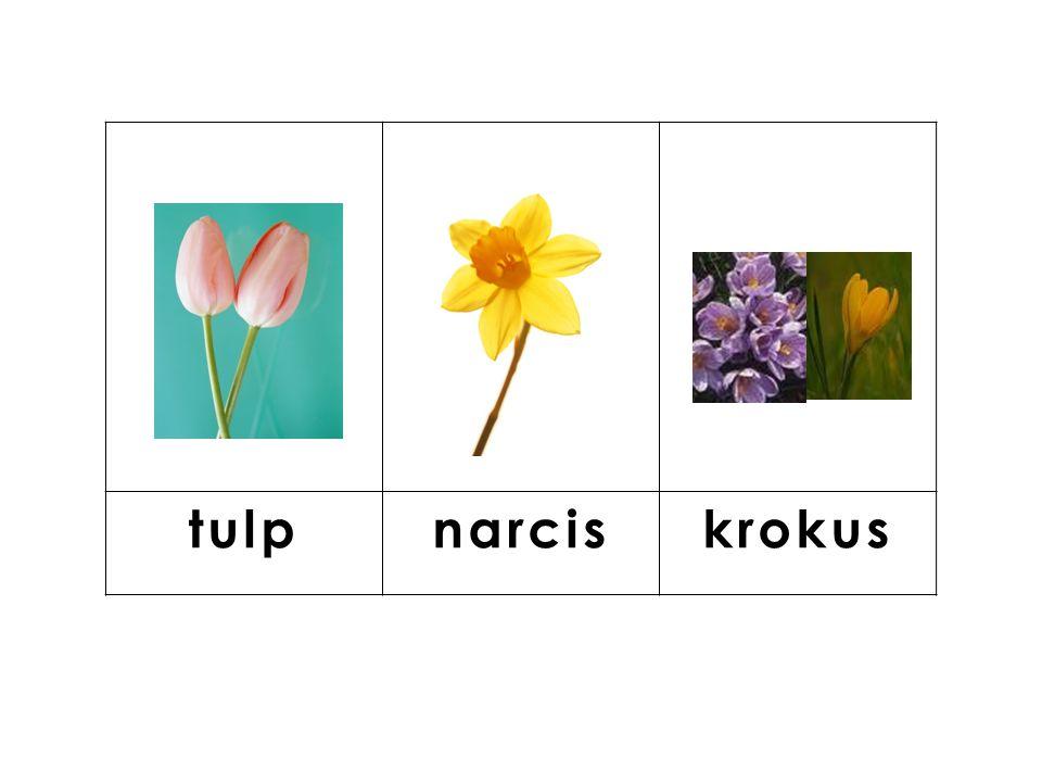 knop tulp narcis krokus