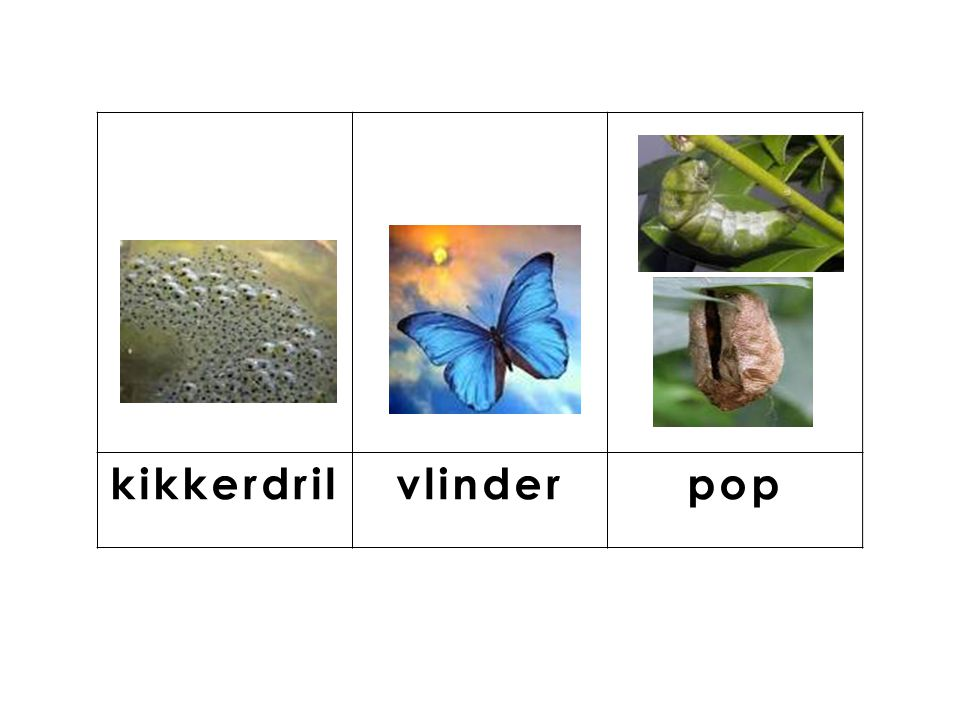 knop kikkerdril vlinder pop