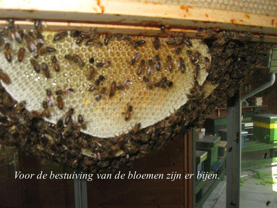Voor de bestuiving van de bloemen zijn er bijen.