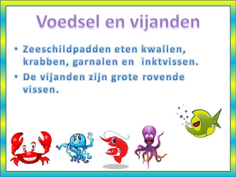 Voedsel en vijanden Zeeschildpadden eten kwallen, krabben, garnalen en inktvissen.