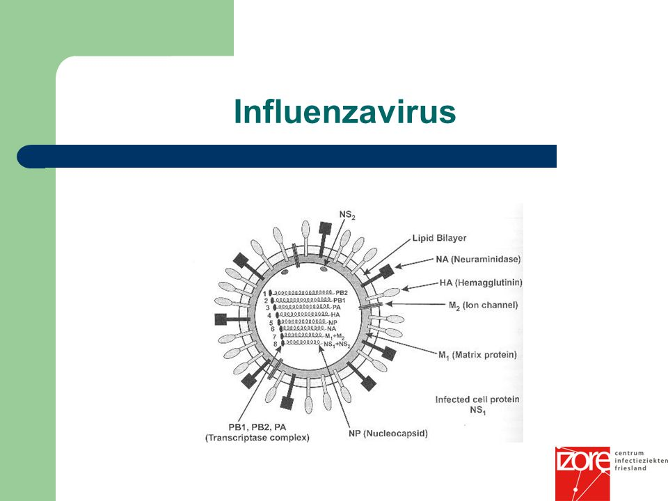 Influenzavirus