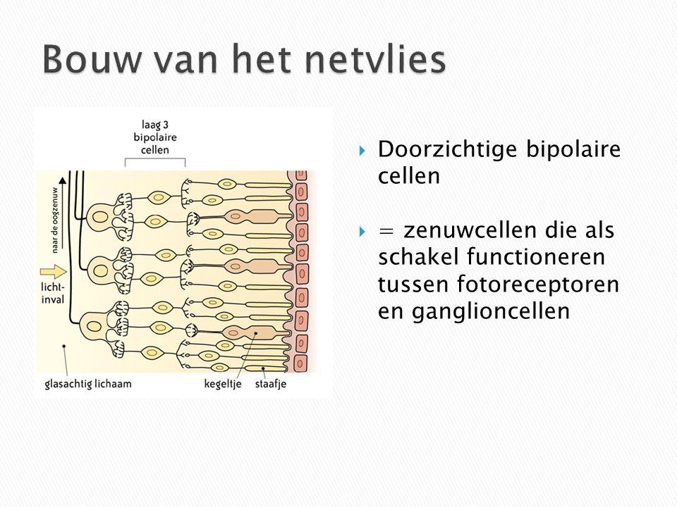 Bouw van het netvlies Doorzichtige bipolaire cellen