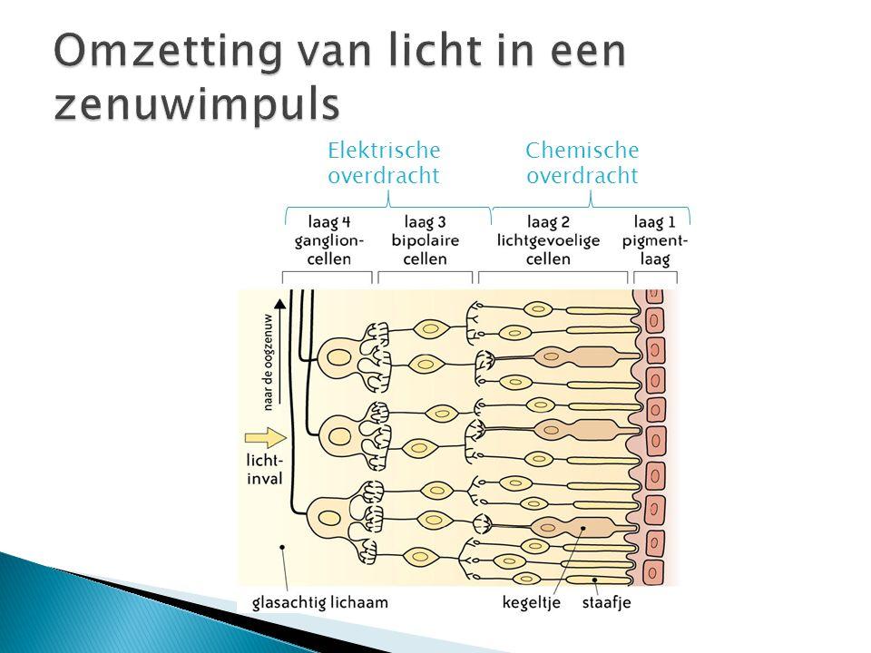 Omzetting van licht in een zenuwimpuls