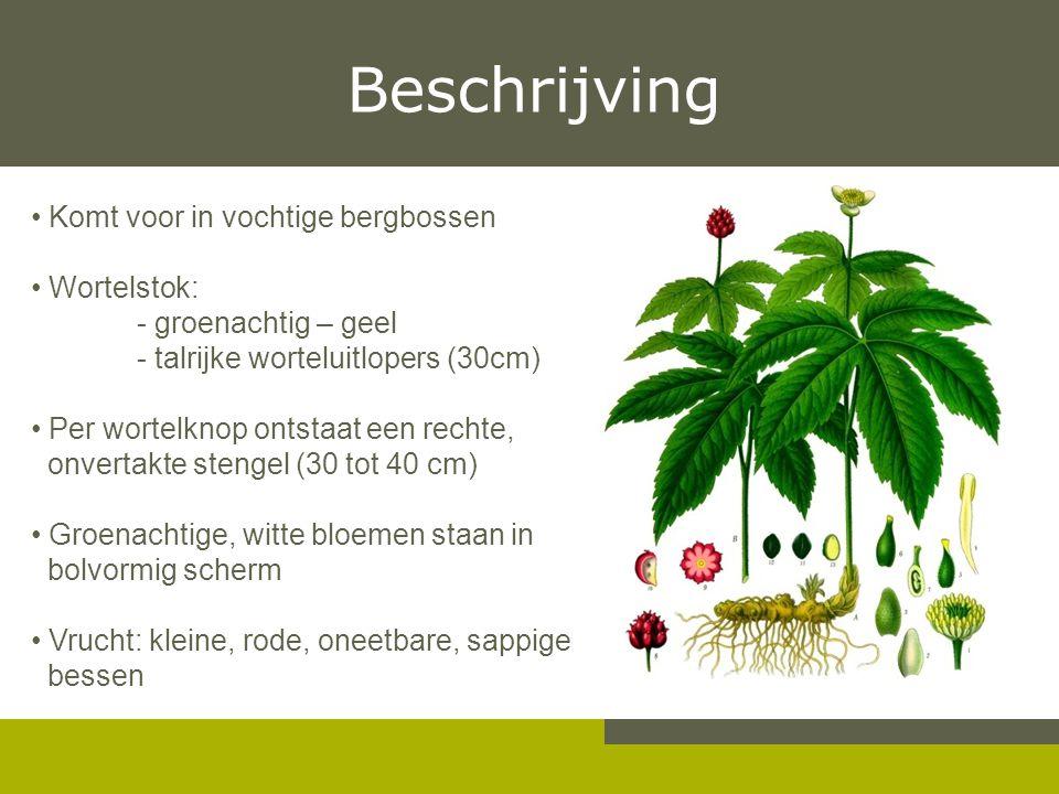 Beschrijving Komt voor in vochtige bergbossen Wortelstok: