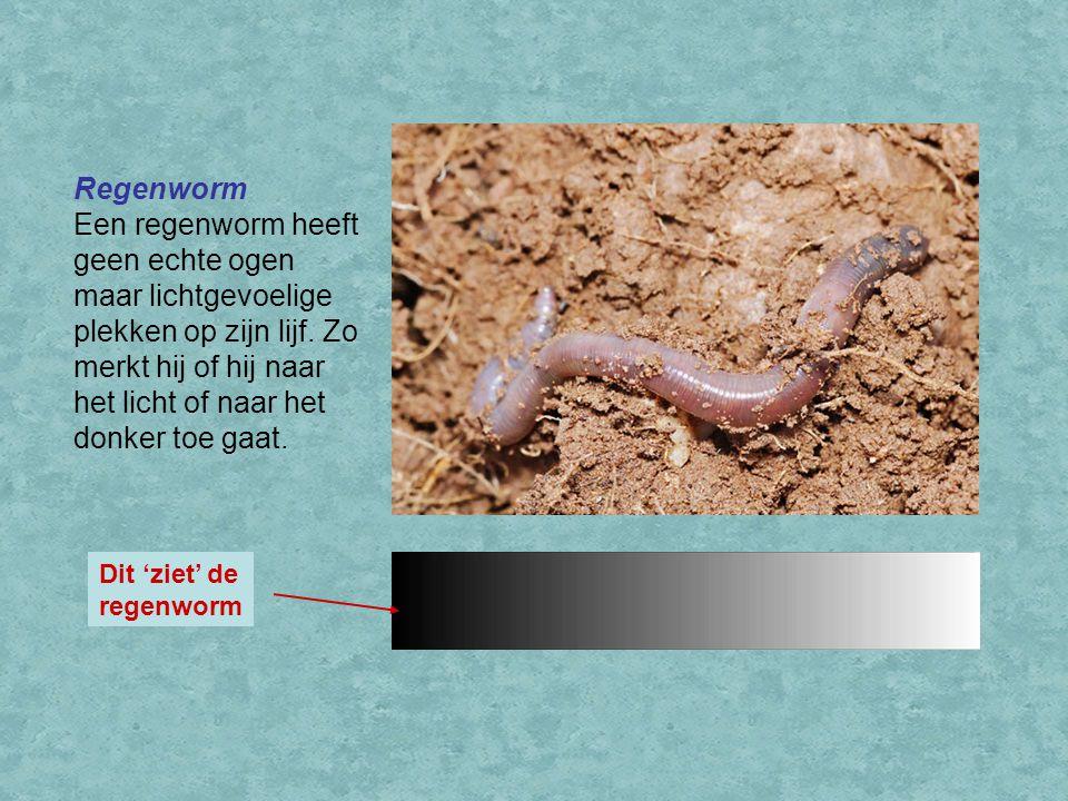 Regenworm