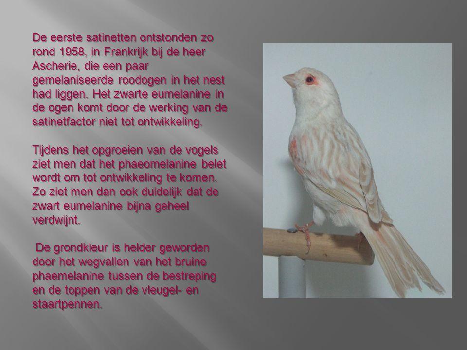 De eerste satinetten ontstonden zo rond 1958, in Frankrijk bij de heer Ascherie, die een paar gemelaniseerde roodogen in het nest had liggen. Het zwarte eumelanine in de ogen komt door de werking van de satinetfactor niet tot ontwikkeling.