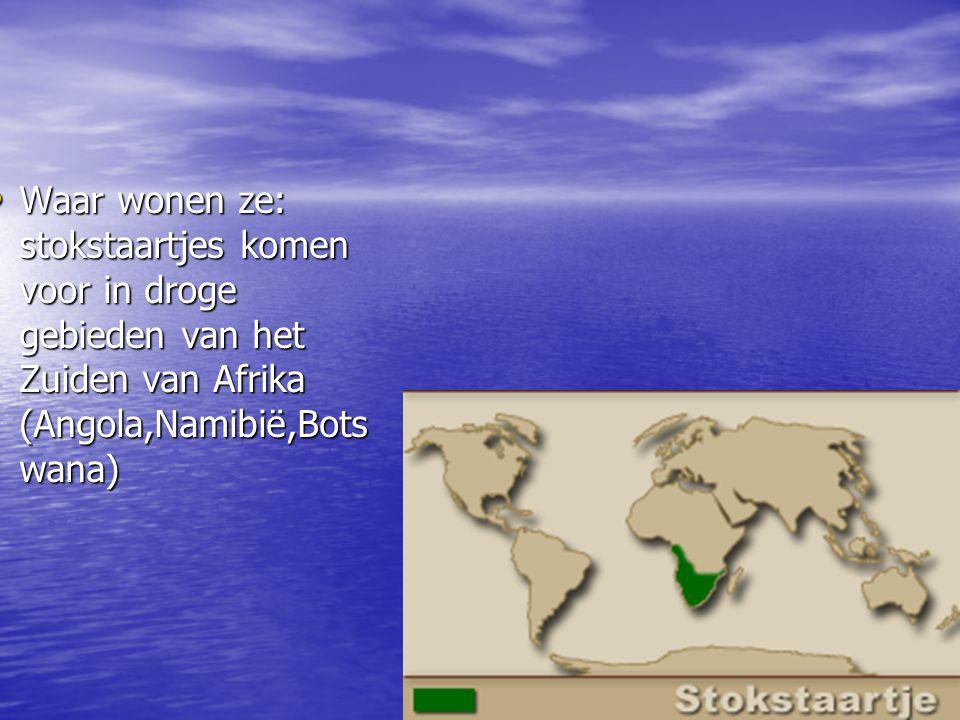 Waar wonen ze: stokstaartjes komen voor in droge gebieden van het Zuiden van Afrika (Angola,Namibië,Botswana)