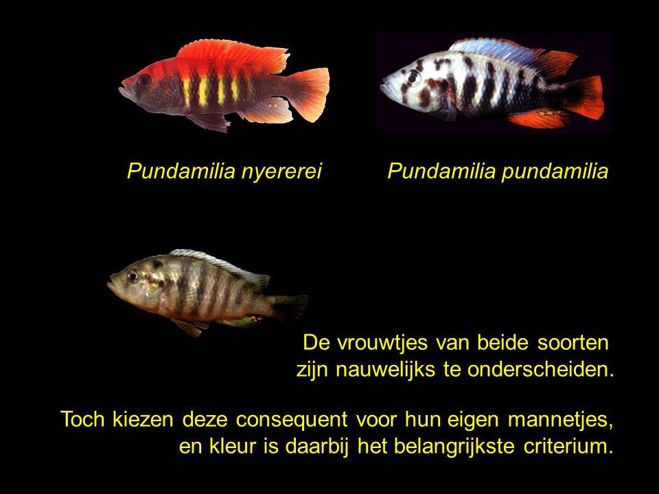 De vrouwtjes van beide soorten zijn nauwelijks te onderscheiden.