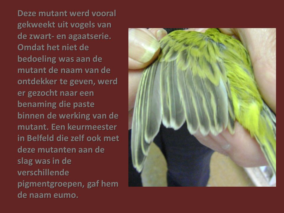 Deze mutant werd vooral gekweekt uit vogels van de zwart- en agaatserie.