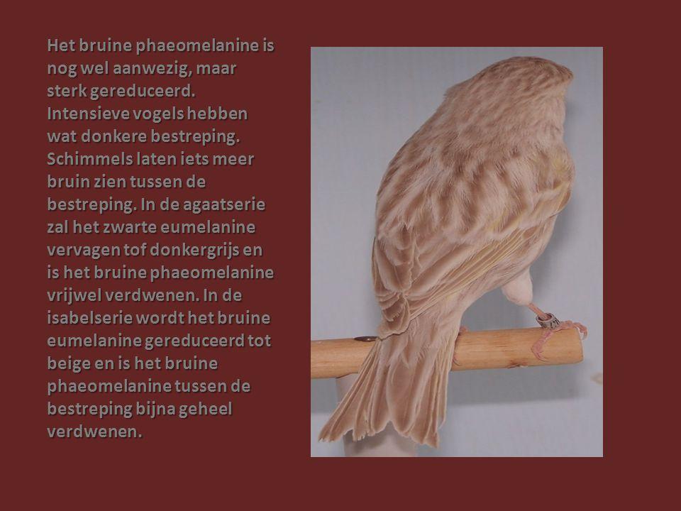 Het bruine phaeomelanine is nog wel aanwezig, maar sterk gereduceerd
