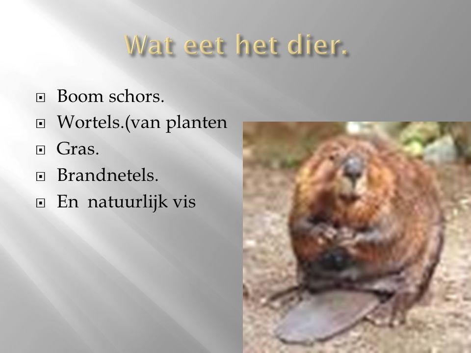 Wat eet het dier. Boom schors. Wortels.(van planten Gras. Brandnetels.