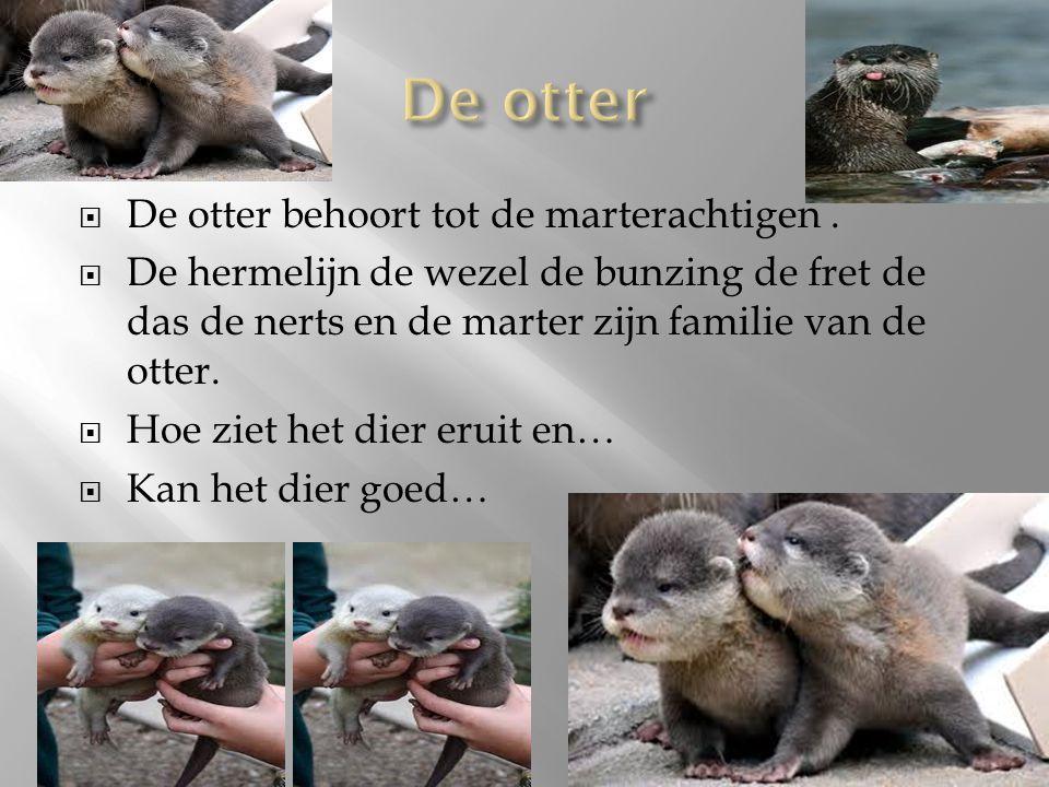De otter De otter behoort tot de marterachtigen .