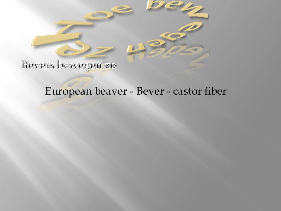 Hoe bewegen ze Bevers bewegen zo European beaver - Bever - castor fiber.