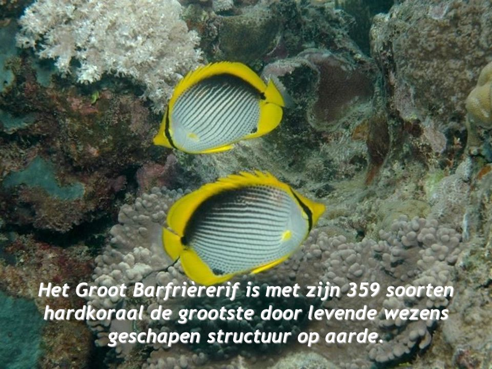 Het Groot Barfrièrerif is met zijn 359 soorten hardkoraal de grootste door levende wezens geschapen structuur op aarde.